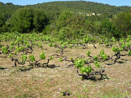 伝統的なワインの木
