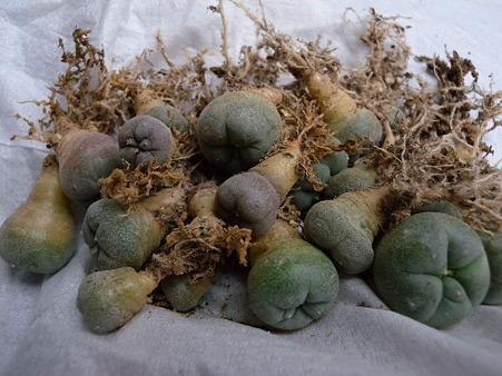 銀冠玉錦の実生苗