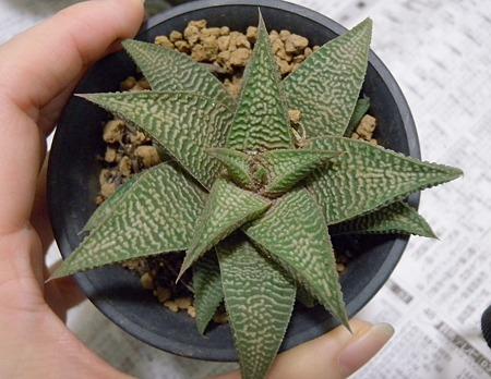 Haworthia limiforia