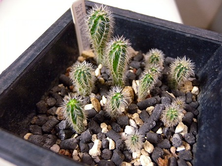 E.viridiflorus seedling