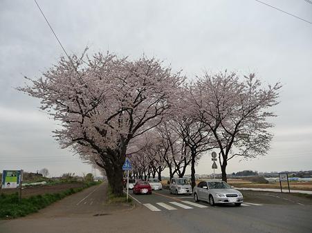 100404-海軍道路の桜 (50)