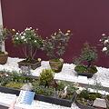 国バラミニ盆栽