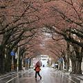 蕾膨らむ桜並木道