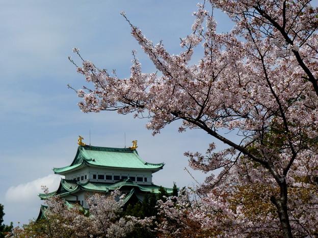 名城の桜・・・