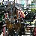 写真: 誇り高き馬車馬