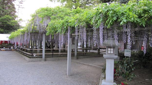 三大神社の藤