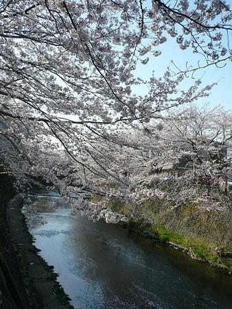 100406 桜 1