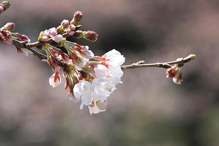2010.03.30 小田原城 さくら-2