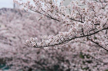 2010.04.04 和泉川 さくら