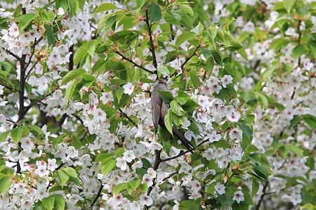 2010.04.24 和泉川 葉桜にヒヨドリ