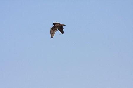 2010.05.12 境川 蝙蝠
