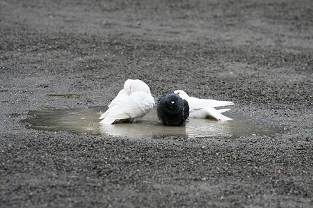 2010.05.12 鎌倉八幡宮 水溜りの鳩
