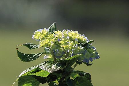 2010.05.21 和泉川 紫陽花
