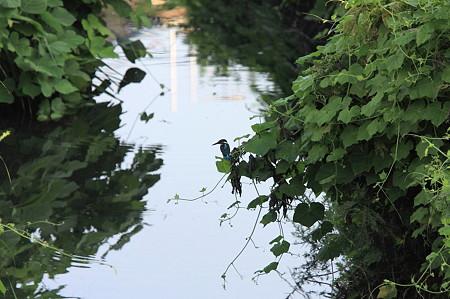 2010.08.26 和泉川 カワセミの居る風景