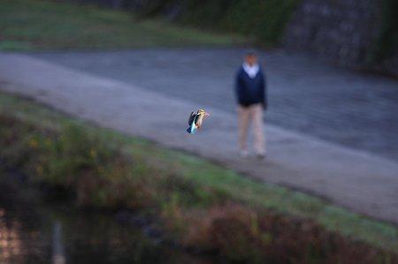 2010.11.02 和泉川 カワセミ 空中静止の術