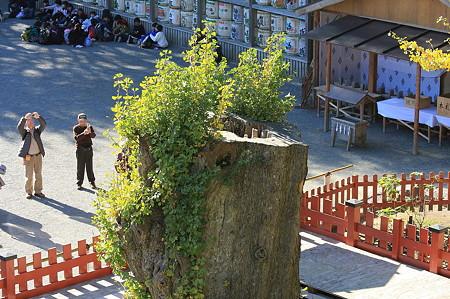 2010.11.29 鎌倉 明月院 八幡宮 大銀杏