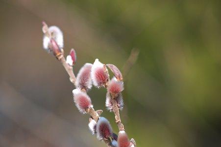 2011.02.22 大池公園 ピンクネコヤナギ