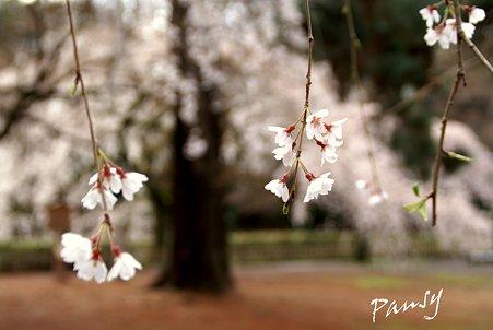 しだれ桜・・3 京都御苑 2010