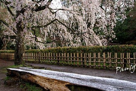 名残り雪の残るベンチと・・ しだれ桜・・7 京都御苑 2010