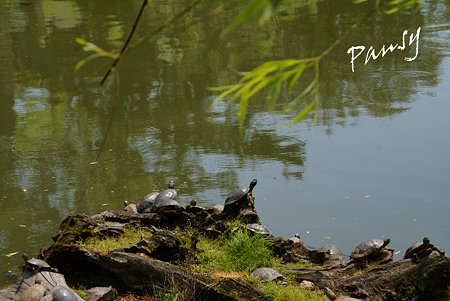 亀たちの休む岩・・猿沢池にて・・3