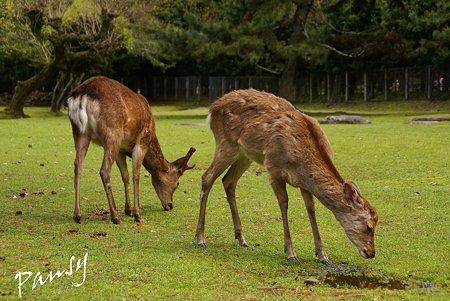 奈良公園の鹿たち・・2