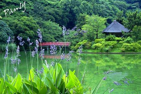 水カンナ咲く池・・七夕月の三渓園・・1