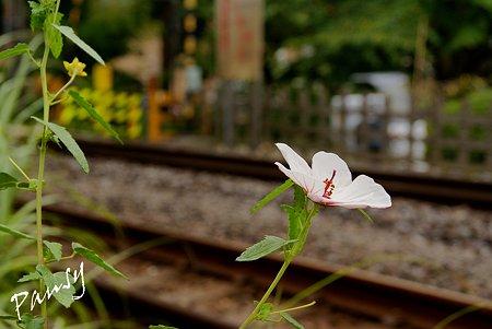 高砂芙蓉咲く・・線路 北鎌倉