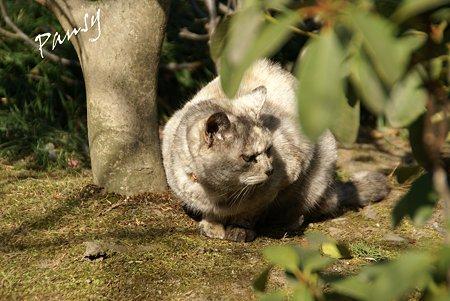 gray の猫・・浄妙寺4