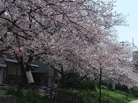 桜散る様子、綺麗やなぁ