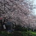 Photos: 桜散る様子、綺麗やなぁ