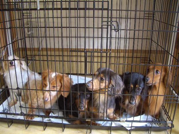 Photos: 左からクリームパイボールドの女の子、レッドパイボールド女の子(dog's Smile)ルナ、紬、夢、アンリー(re:start)
