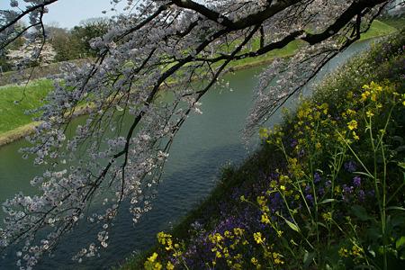 千鳥ヶ淵の桜模様!(100403)