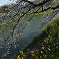 Photos: 千鳥ヶ淵の桜模様!(100403)