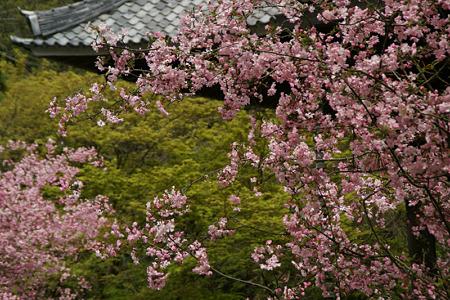 ピンク色の海棠、妙本寺!(100411)