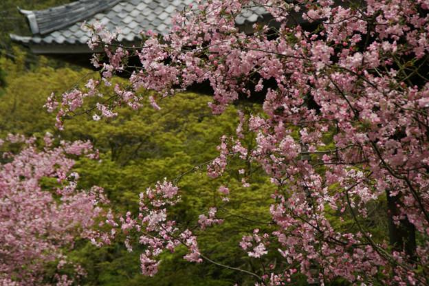 Photos: ピンク色の海棠、妙本寺!(100411)