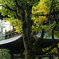 Photos: 山門に黄葉のプラタナス!(101106)