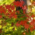 Photos: 淡色の紅葉狩り!(101106)