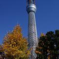 写真: 東京スカイツリー黄葉!(20101218)