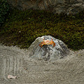 Photos: 枯山水に沢蟹が!(110101)