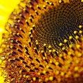 Photos: 向日葵の宇宙