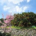 河津桜とみかん畑