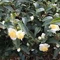 Photos: 茶の花1