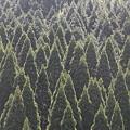 写真: 100517-11 r15からの杉林