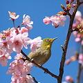Photos: 110304-6河津桜とメジロ
