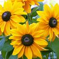 写真: 黄色い花1