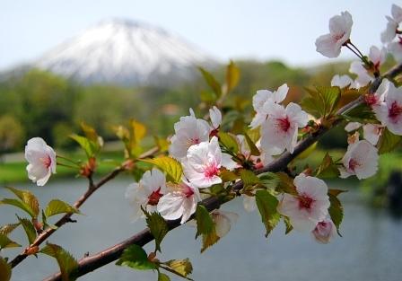 桜と羊蹄山