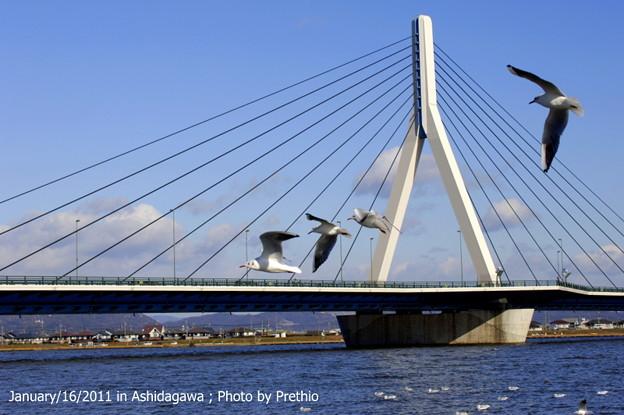 写真: 水呑大橋とユリカモメ