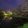 用水池の桜