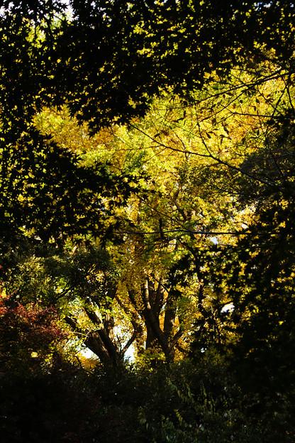 黄色の大木