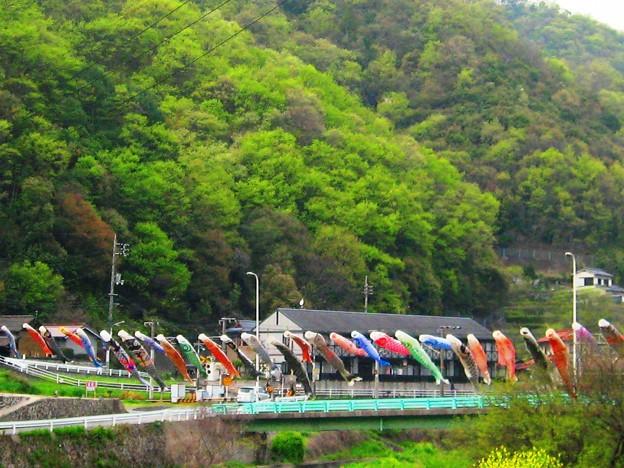 写真: 新緑の頃~江の川の鯉たち~
